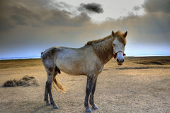 Portrait full body of white horse with beautiful rim light Royalty Free Stock Photos