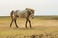 Portrait full body of white horse with beautiful rim light again Stock Photography