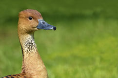 Portrait Fulvous Whistling Duck Royalty Free Stock Photo