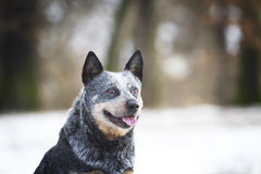Portrait fun australian cattle dog puppy in spring snow backgrou Royalty Free Stock Image