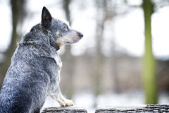 Portrait fun australian cattle dog puppy in spring snow backgrou Royalty Free Stock Photo
