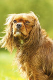 Portrait of a fun cavalier king charles spaniel Stock Photos