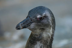 Portrait of funny African penguin at close up Stock Photography