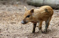 Portrait of funny baby pig, Central European wild boar. Closeup stock photography