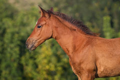 Portrait of funny bay foal Royalty Free Stock Photography