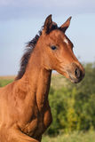 Portrait of funny bay foal Stock Image