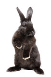 Portrait of a funny black rabbit standing on his hind legs Royalty Free Stock Photos