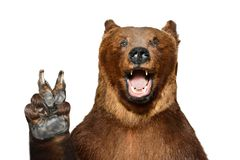 Portrait of a funny brown bear showing a peace gesture. Isolated on a white background stock images