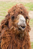 Portrait of funny camel close-up. Portrait of funny camel closeup with dry grass on it Stock Photos