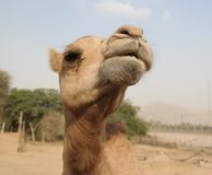 Portrait of funny camel head, Sharjah, UAE. Portrait of funny camel head at Sharjah, UAE Royalty Free Stock Image