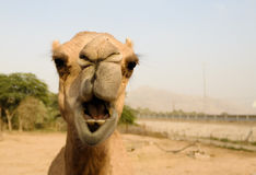 Portrait of funny camel head, Sharjah, UAE. Portrait of funny camel head in Sharjah, UAE Royalty Free Stock Photo