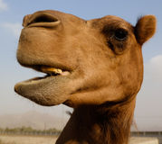 Portrait of funny camel head, Sharjah, UAE. Portrait of funny camel head in Sharjah, UAE Royalty Free Stock Photos