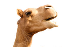Portrait of funny camel head, Sharjah, UAE. Portrait of funny camel head in Sharjah, UAE Royalty Free Stock Image