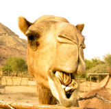 Portrait of funny camel head, Sharjah, UAE. Portrait of funny camel head in Sharjah, UAE Stock Images
