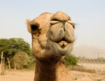 Portrait of funny camel head, Sharjah, UAE. Portrait of funny camel head in Sharjah, UAE Stock Photography
