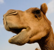 Portrait of funny camel head, Sharjah, UAE. Portrait of funny camel head in Sharjah, UAE Stock Photo