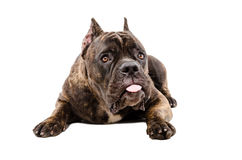 Portrait of funny Cane Corso dog Stock Photography