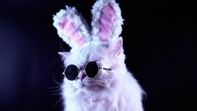 Portrait of funny cat in fashion sunglasses and soft rabbit ears. Studio footage