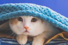 Portrait of funny cat. Under blue  blanket Royalty Free Stock Photography