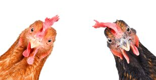 Portrait of a  funny chickens