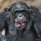 Portrait of funny Chimpanzee making faces. Extreme closeup stock photos