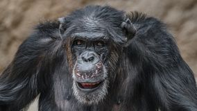 Portrait of funny Chimpanzee making faces. Extreme closeup stock image