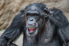 Portrait of funny Chimpanzee making faces. Extreme closeup stock photo