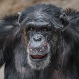 Portrait of funny Chimpanzee making faces. Extreme closeup royalty free stock photos