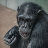 Portrait of funny Chimpanzee with a smugly smile. Extreme closeup, details stock image