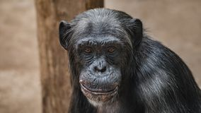 Portrait of funny Chimpanzee with a smugly smile, at smooth back. Ground, extreme closeup, details, paste space stock image