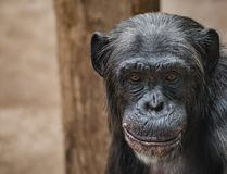 Portrait of funny Chimpanzee with a smugly smile, at smooth back. Ground, extreme closeup, details, paste space stock images