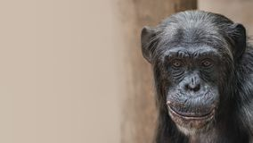 Portrait of funny Chimpanzee with a smugly smile, at smooth back. Ground, extreme closeup, details, paste space stock photos