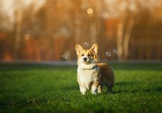 Portrait of funny ginger Corgi puppy standing on green young grass on spring Sunny meadow and catching shiny soap bubbles. Portrait of funny Corgi puppy standing stock image