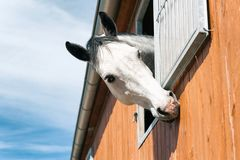 Portrait of funny curious thoroughbred gray horse in stable wind. Portrait of curious funny thoroughbred gray horse looking out of stable window on a blue sky Stock Images