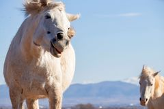 A portrait of a funny cute beautiful horse that looks into the camera, in the background a second horse that is watching at her stock images