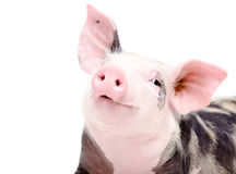 Portrait of funny cute piglet Stock Photo