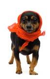 Portrait of funny dog. Little funny  dog. close-up. isolated on white Stock Image