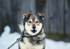 Portrait of a funny dog barks menacingly Baring his teeth Royalty Free Stock Image