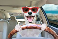 Portrait of a funny dog behind the wheel of a car. Portrait of a funny dog Jack Russell Terrier in sunglasses behind the wheel of a car stock photo