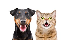 Portrait of funny dog breed Jagdterrier and cheerful cat Scottish Straight. Isolated on white background stock photos