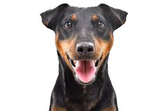 Portrait of funny dog breed Jagdterrier. Isolated on white background stock images