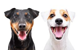 Portrait of funny dog breed Jagdterrier and Jack Russell Terrier. Isolated on white background stock image
