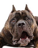 Portrait of a funny dog Cane Corso breed Stock Images
