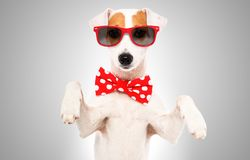 Portrait of funny dog Jack Russell Terrier in a bow tie and sunglasses royalty free stock photos