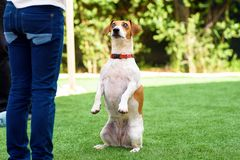 Portrait Funny Dog sitting on hind legs begging with eyes in praying gaze. stock image