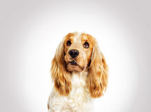 Portrait funny dog spaniel Royalty Free Stock Photography
