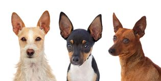 Portrait of funny dogs with funny big ears raised. Isolated on white background stock images