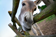 Portrait of a funny donkey on farm. In day Stock Image