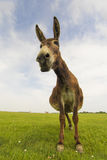 Portrait of funny donkey on the meadow. Portrait of funny donkey on the floral meadow Stock Photography