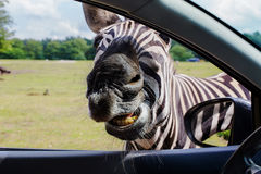 Portrait of funny faces Zebra Stock Photo